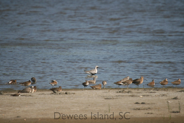 Black Bellied Plover, Dowitchers, and Dunlin