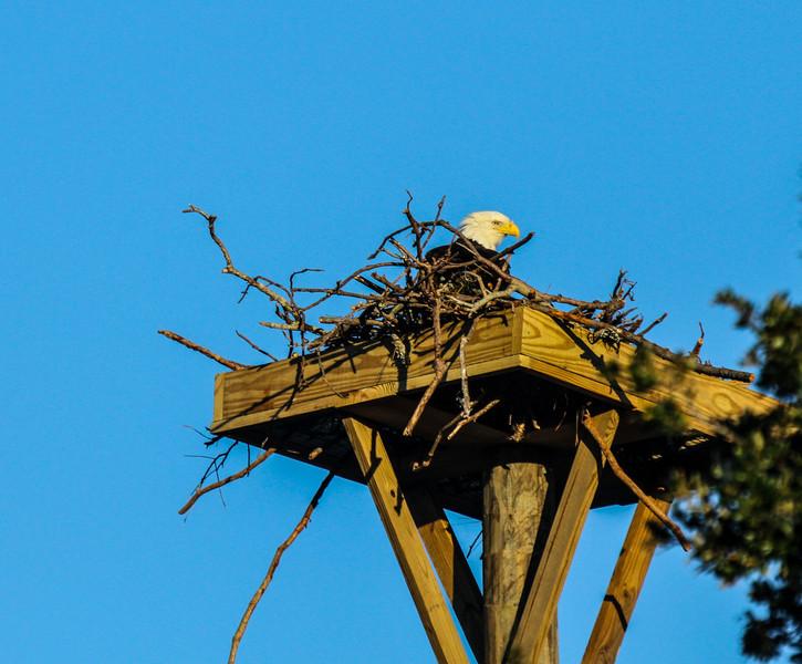 Dewees Island new eagle platform